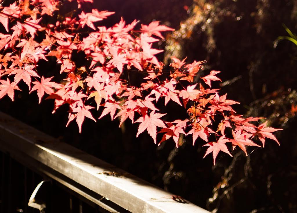 楓葉季到!賞楓前先搞懂什麼是真正的「紅葉」吧!