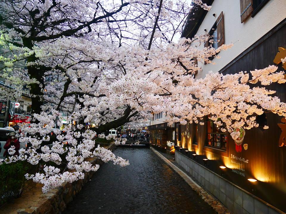 有錢也不賺!京都祇園臨時中止夜櫻點燈活動,只因觀光客禮儀失格?